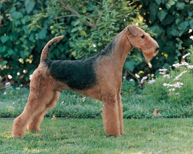 Собака породы эрдельтерьер