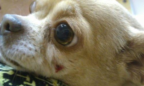 Флюс у собаки маленькой породы