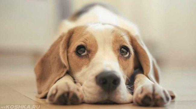 Собака прижавшая голову к полу