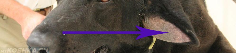 Гематома уха у дворовой собаки