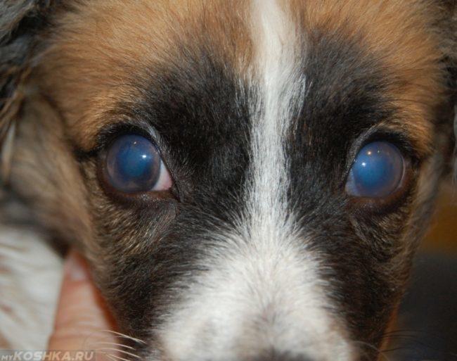 Глаукома у собаки и рука хозяйки