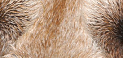 Глаукома у собаки вблизи два глаза