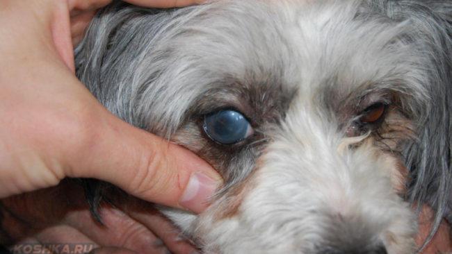 Вторичная глаукома у собаки