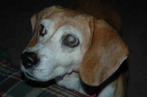 Глаукома у собаки светлого окраса