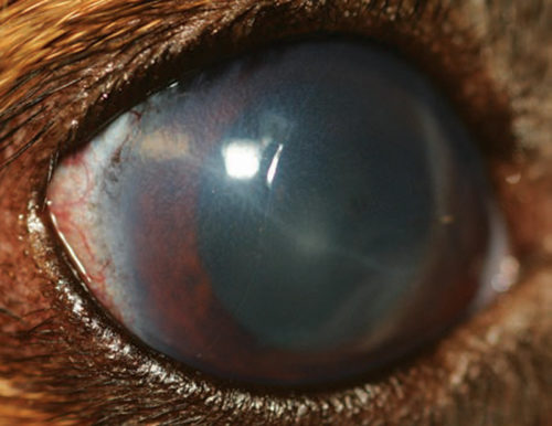 Глаукома у собаки коричневого окраса