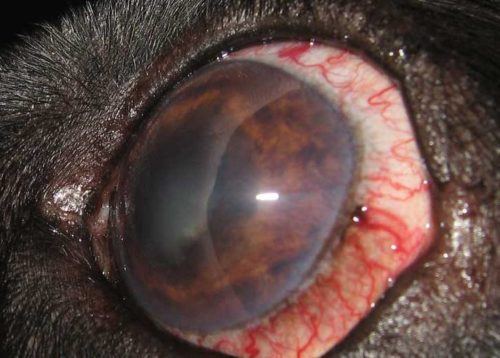 Глаукома у собаки с покраснением глаз