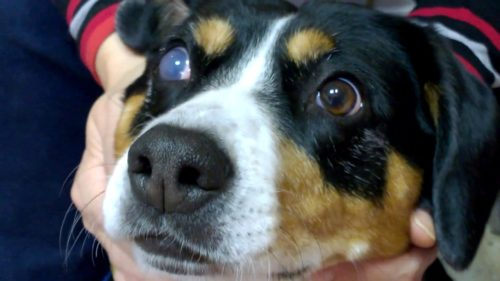 Глаукома у собаки на одном глазу