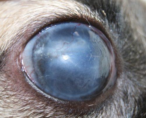 Глаукома у собаки серого окраса