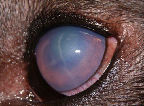 Глаукома у собаки в приближенном виде