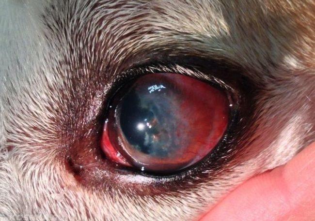 Покрасневшие глаза у собаки