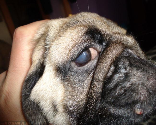 Глаукома у собаки на глазах