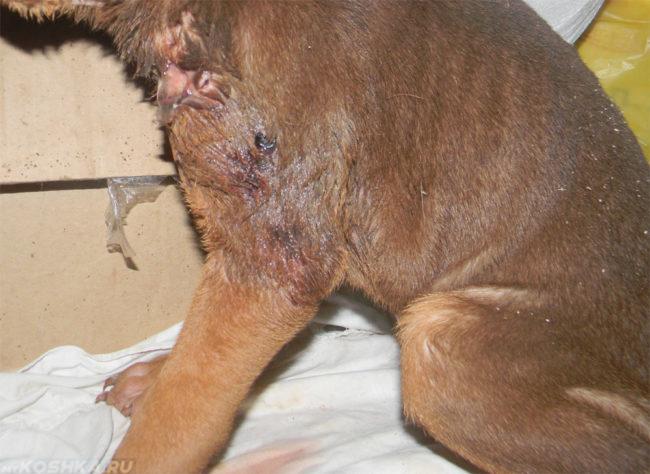 Гнойный воспаления на коже у собаки