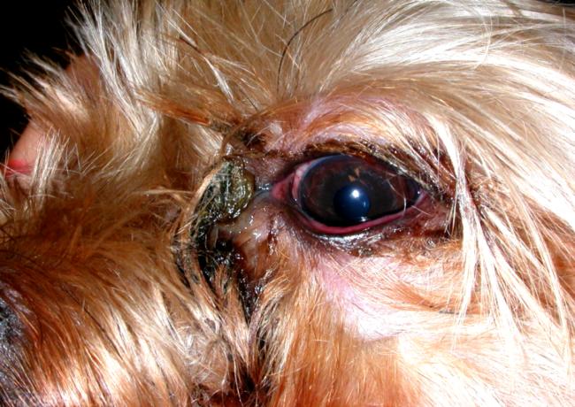 Слезотечение и гной у собаки из глаз