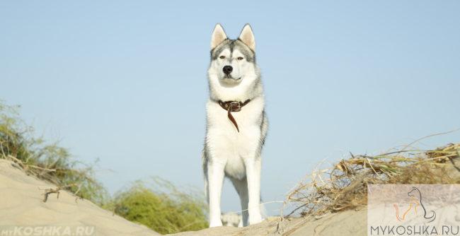 Собака породы Хаски в ошейнике и на природе