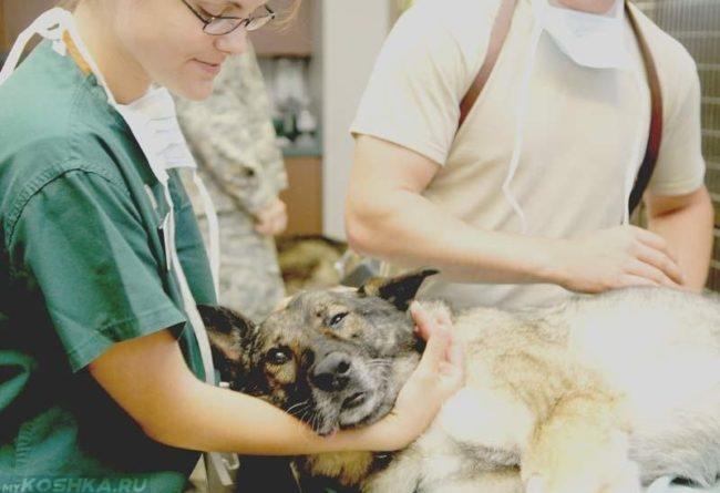 Собака на операционном столе