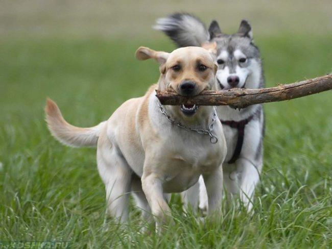 Бегущие играющие собаки
