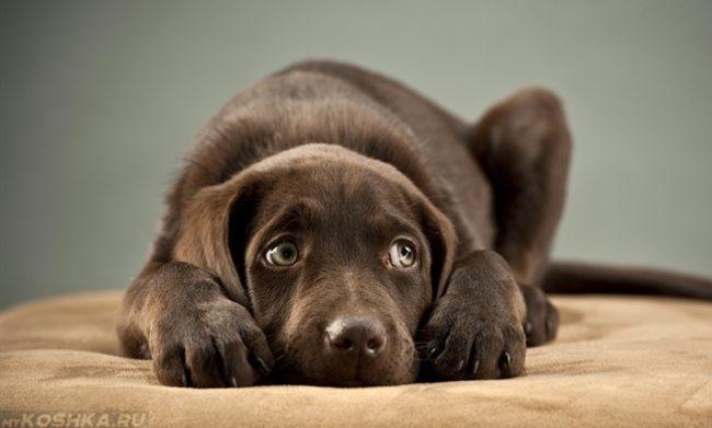 Сильный испуг у прижавшейся собаки