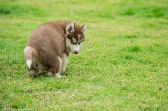 Испражнение собаки на зелёной поляне