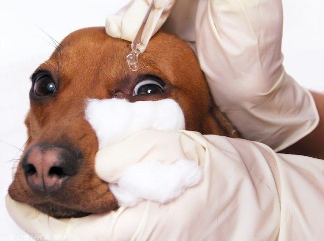 Закапывание лекарства в глаз собаки