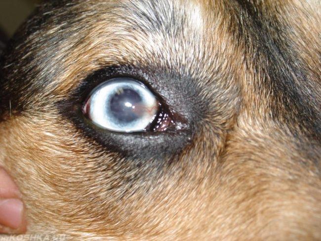 Язвенный кератит у собаки
