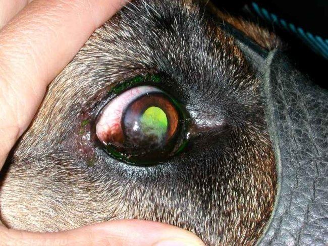 Гнойный кератит у собаки с зелёным оттенком