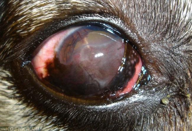 Кератит у собаки с помутнением роговицы