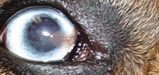 Кератит у собаки вблизи воспаление