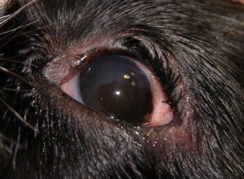 Кератит у собаки тёмного окраса