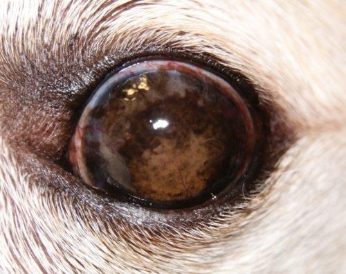 Кератит у собаки светлого окраса