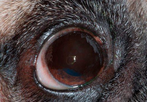 Кератит у собаки в приближенном виде