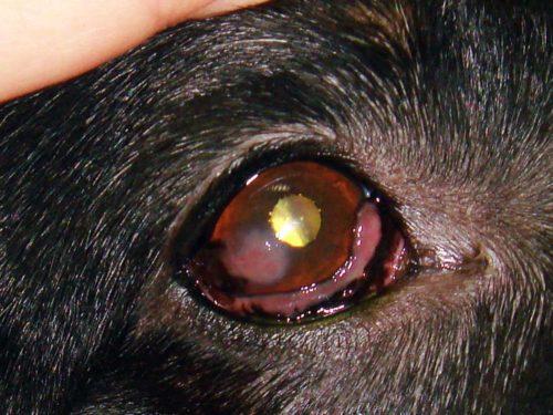 Кератит у собаки в следствии химического ожога