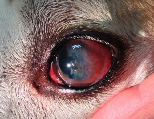 Кератит у собаки в следствии диабета