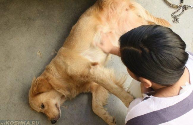 Собака лежащая на боку и хозяйка