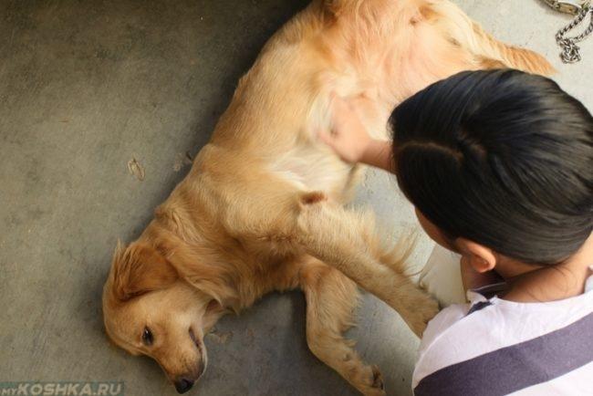 Колики у собаки лежащей на боку
