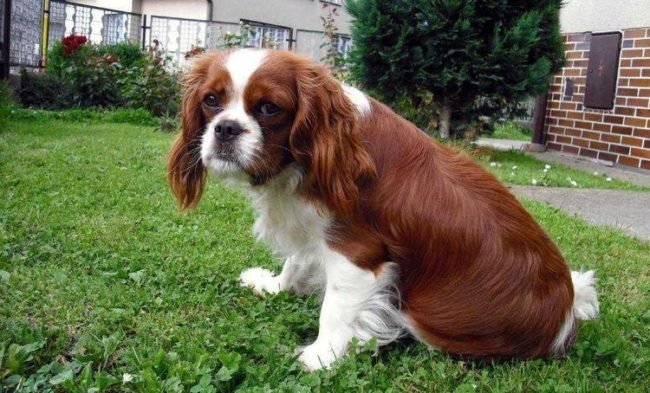 Колит у собаки сидящей на траве