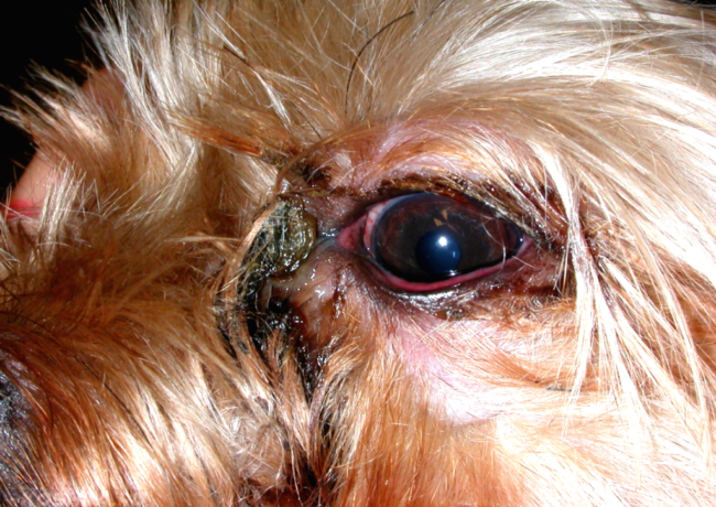 Конъюнктивит у собаки в приближенном виде