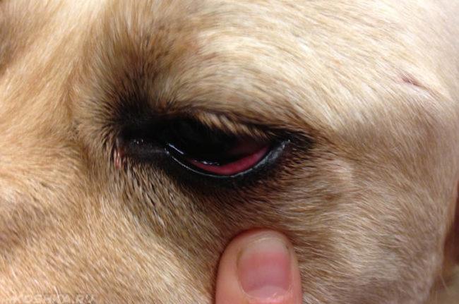 Катаральный конъюнктивит у собаки и палец