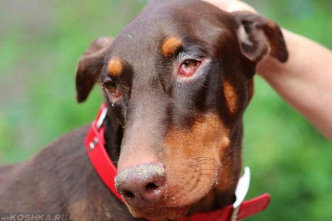 Конъюнктивит у собаки с красным ошейником