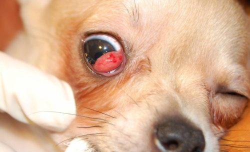Конъюнктивит у собаки светлого окраса