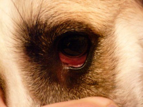 Конъюнктивит у собаки и рука