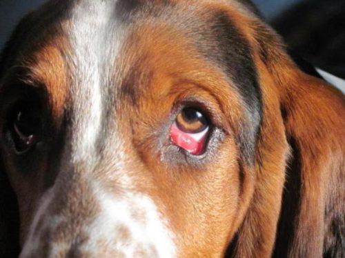 Конъюнктивит у собаки коричневого окраса