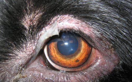 Конъюнктивит у собаки с гноем