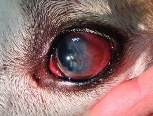 Конъюнктивит у собаки и покраснение глаза