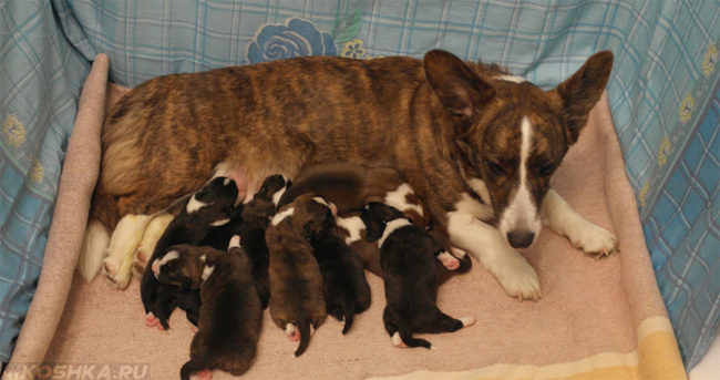 Кормящиеся щенки у собаки