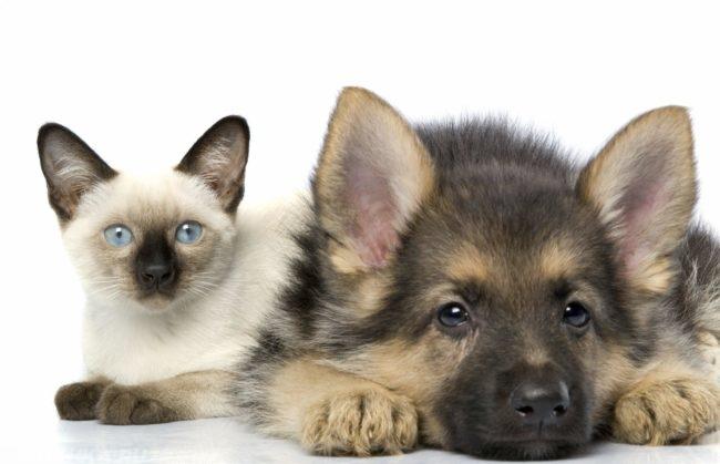 Кошка и собака на белом фоне