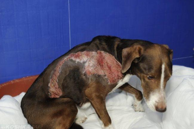 Сильное воспаление на коже у собаки