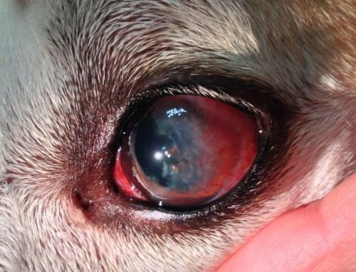 Красные глаза у собаки по причине кератита