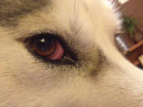 Красные глаза у собаки светлого окраса