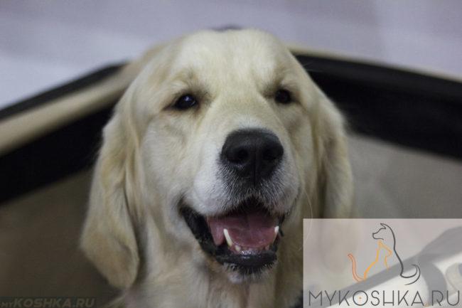 Лабрадор собака морда улыбается