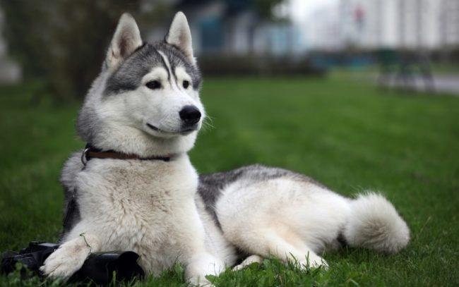Собака породы лайка на природе